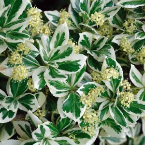 EUONYMUS FORT.EMERALD GAIETY 2.5L POT