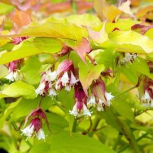 LEYCESTERIA FORMOSA GOLDEN LANTERNS 3L POT