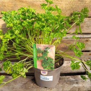 PARSLEY MOSS CURLED 1L HERB