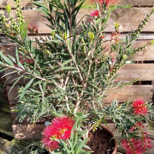 CALLISTEMON CITR. SPLEN. MASOTTI BUSH 19CM POT – BOTTLEBRUSH