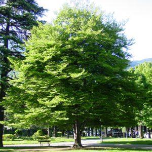 FAGUS SYLVATICA – BEECH TREE