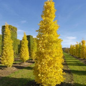 GINKGO BILOBA MENHIR – MAIDENHAIR TREE