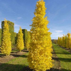 GINKGO BILOBA MENHIR – MAIDENHAIR TREE