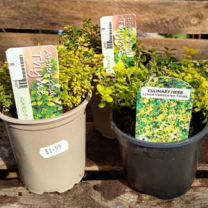 THYME ARCHERS GOLD 9cm  HERB