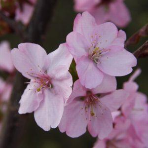 PRUNUS JACQUELINE – FLOWERING CHERRY
