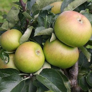 APPLE BRAMLEYS  – PATIO
