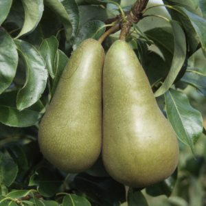 PEAR CONFERENCE STEP OVER