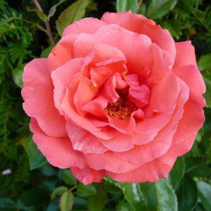 HYBRID TEA ROSE SHOWTIME 3L