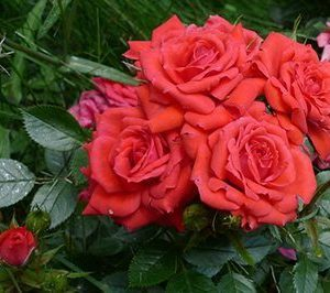 PATIO ROSE BIRTHDAY WISHES 3L