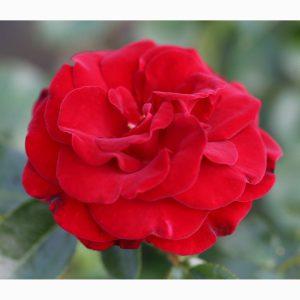 PATIO ROSE RUBY ROMANCE 3L