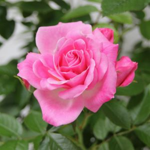 PATIO ROSE CAREFREE DAYS 3L