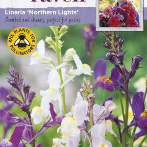 SRCF-LINARIA NORTHERN LIGHTS