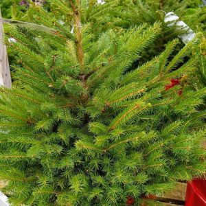 POTTED NORWAY SPRUCE 7.5L (80-100cm)