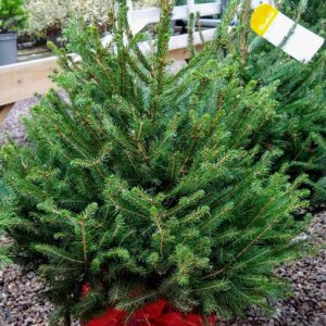 POTTED NORDMANN FIR 7.5L (80-100cm)