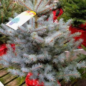 POTTED BLUE SPRUCE 7.5L (80-100cm)