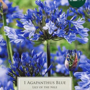 AGAPANTHUS BLUE (LILY OF THE NILE)