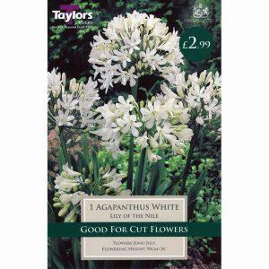 AGAPANTHUS WHITE – 1