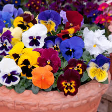 PANSY MIXED 20 PACK