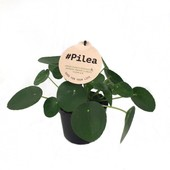 PILEA PEPPEROMOIDES