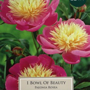 PAEONIA ROSEA BOWL OF BEAUTY