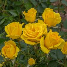 GRANDMA'S ROSE – YELLOW – ROYALTY BUSH 3L