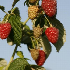RASPBERRY (RUBUS) JOAN J – 5 CANES ROOT WRAPPED