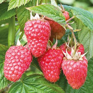 RASPBERRY (RUBUS) MALLING JUNO – 5 CANES ROOT WRAPPED